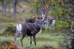 Бык в ландшафте осени, flatruet северного оленя, Швеция Стоковые Фотографии RF