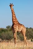 Бык жирафа Стоковая Фотография