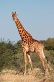 Бык жирафа Стоковые Изображения