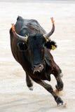 бык злющий Стоковое фото RF