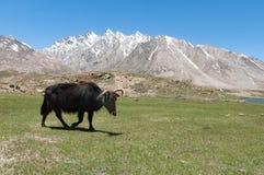 Бык коровы вола яков Tibetian пася на траве горы, покидая корма Стоковое Изображение