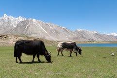 Бык коровы вола яков Tibetian пася на траве горы, покидая корма Стоковая Фотография RF