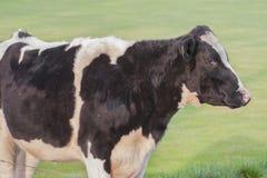 Бык коровы в лужке Стоковые Изображения