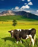 бык пася Стоковые Изображения RF