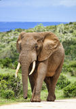 Бык слона Стоковое Изображение