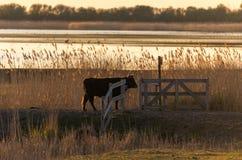 Бык щеколд идя через строб вдоль озера и тростника стоковое изображение