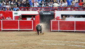 бык Стоковое Изображение