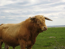 бык Стоковые Фото