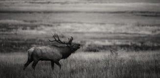 Бык Bugling в черно-белом Стоковые Изображения RF