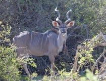Бык Kudu сфотографировал в национальном парке зебры горы, восточной накидке; Южная Африка Стоковые Фотографии RF