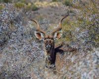Бык Kudu Стоковые Изображения