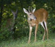 был наблюдаемым самецом оленя Стоковые Изображения RF