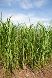 был сахаром заводов тросточки биотоплива росли фермой, котор Стоковая Фотография RF