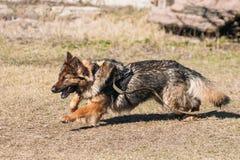 Быстрая идущая тренировка собаки немецкой овчарки Идущая собака высокогорное Стоковое Изображение RF