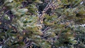 Быстрое и трудное дерево дуновения ветра приходить шторма сток-видео