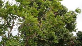 Быстрое и трудное дерево дуновения ветра приходить шторма видеоматериал