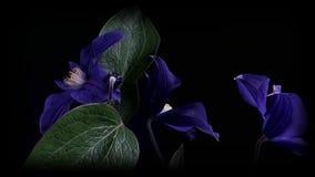 Быстрое fioritua цветков акции видеоматериалы
