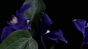 Быстрое fioritua цветков видеоматериал