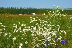 Быстрые маргаритки цветя в луге Стоковая Фотография