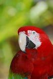 Быстрый взгляд на птице ары шарлаха Стоковая Фотография RF