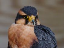 быть укротителями пер птицы близкими холодными имеет горяче свои temparatures содержания политые kestrel для того чтобы поднять в Стоковое Фото