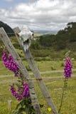 Быть фермером в NZ - черепе овец Стоковое Изображение