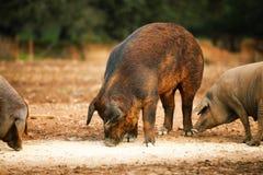 быть фермером свинья Стоковые Изображения RF