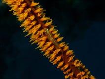 Бычковые коралла провода Стоковая Фотография RF