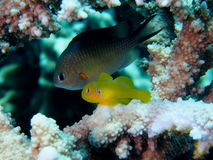 Бычковые коралла цитрона на коралле Acropora рогача Стоковое Изображение