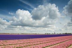 Былинные облака над гиацинтом fields в Голландии Стоковое Изображение RF