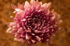 Был розовый Стоковое Фото