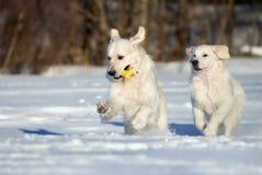 2 былых собаки retriever бежать в зиме Стоковое Фото