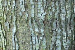 Благородная расшива ели Стоковое Фото