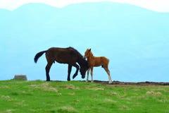 Благосклонности дикой лошади по-отцовски Стоковая Фотография RF