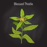 Благословленное benedictus cnicus Thistle, лекарственное растение иллюстрация вектора