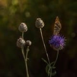 Благословленные пинком цветок и бабочка thistle молока Стоковые Фотографии RF