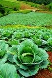 Благоустраивайте взгляд свеже растя поля капусты Стоковые Фотографии RF