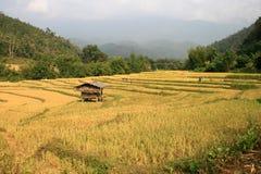 Благоустраивайте золотое поле риса в сельской местности, Чиангмае, Таиланде Стоковые Изображения