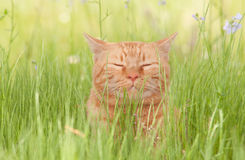 Блаженно счастливый оранжевый кот tabby наслаждаясь жизнью Стоковые Изображения RF
