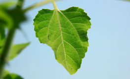 Блески лист солнцецвета под солнцем Стоковое фото RF