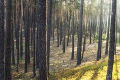 Блески Солнця в сосновом лесе Стоковая Фотография RF