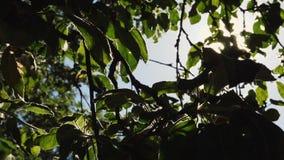 Блески Солнця через зеленые листья сток-видео