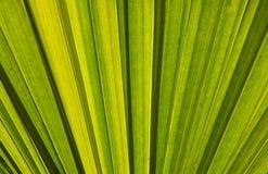 Блеск зеленого света лист бетэла Стоковые Изображения RF