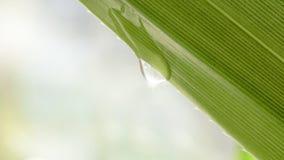 Блеск падения воды в солнечном свете на зеленых лист Стоковая Фотография