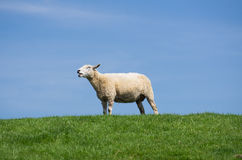 Блеяя овцы стоковые фото