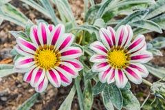 Бледное белое и фиолет покрасили цветок gazania тигра Стоковое Фото