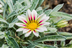 Бледное белое и фиолет покрасили цветок gazania тигра Стоковое Изображение