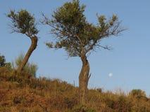 Бледное полнолуние и оливковые дерева стоковые фотографии rf