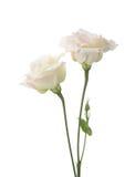 2 бледное - розовые цветки Стоковые Изображения