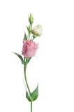 2 бледное - розовые цветки Eustoma Стоковые Фотографии RF